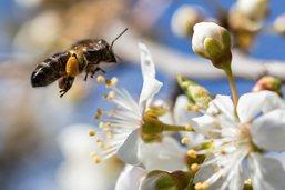 Projet pour favoriser les abeilles plébiscité par les paysans
