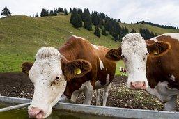 Les vaches suisses deviennent trop lourdes et trop grandes