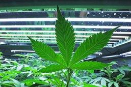 Le propriétaire de Corona mise à fond sur la marijuana