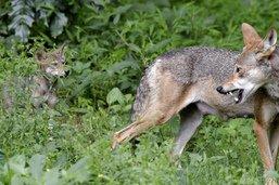 La Suisse demande un allégement de la protection du loup