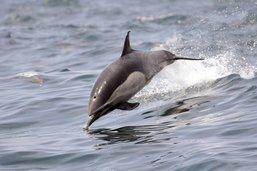 Un maire français restreint la baignade à cause d'un dauphin en rut