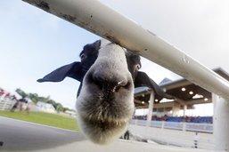 Bê! Les chèvres préfèrent les gens heureux