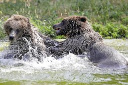 Ces ours sont comme tout le monde, ils ont chaud