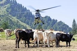 Vaches ravitaillées par hélico