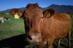Un casting pour les vaches de la Fête des vignerons