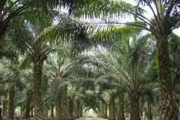 Le canton veut limiter l'importation d'huile de palme