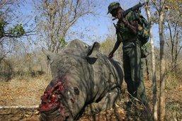 Afrique du Sud: nombre de rhinocéros braconnés en baisse en 2018
