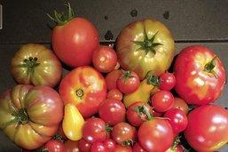 Des variétés de tomates pour les patates
