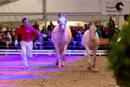 Equus helveticus: des poulains aux enchères