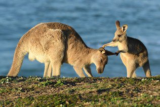 Trois hommes recherchés pour avoir torturé des kangourous