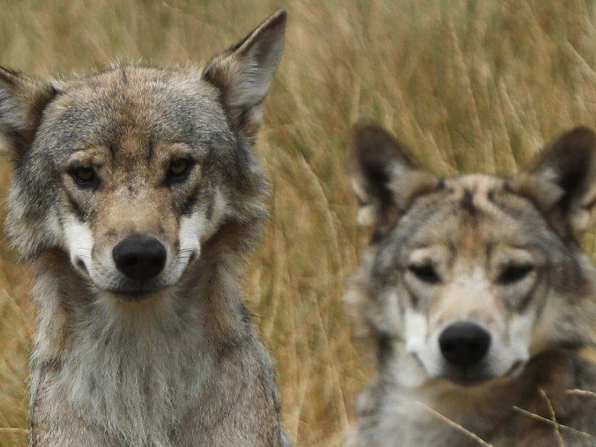 Probablement une deuxième meute de loups dans les Grisons