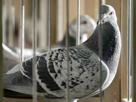 Les pigeons voyageurs sont entraînés depuis le plus jeune âge à regagner leur colombier, même lâchés à des centaines de kilomètres. © KEYSTONE/AP/MICHAEL SOHN