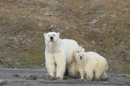 Avenir incertain pour l'ours polaire et le saumon du Pacifique