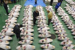 Un thon rouge vendu plus de 3 millions de francs au Japon