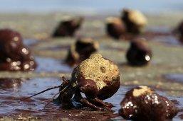 Le bernard-l'ermite craint pour sa coquille lorsqu'il se reproduit
