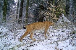 Dix-neuf lynx estimés dans le canton