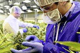 La pharma alléchée par le cannabis
