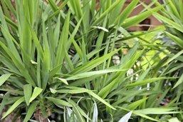 Les yuccas d'Heidi sont des dracaenas