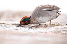Moins d'oiseaux d'eau recensés sur les lacs de Neuchâtel et Morat