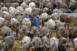 Halte au scellement des tétines de vache de concours
