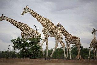 Délocalisation de girafes menacées dans le sud-ouest nigérien
