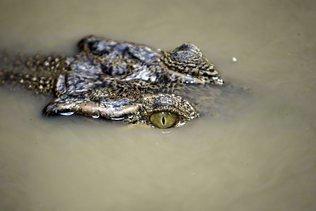 Un crocodile apprivoisé dévore une femme en Indonésie