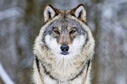 Le loup peut-être «tiré» dans l'urne