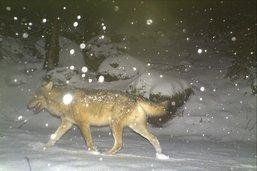 Le loup est de retour en terres fribourgeoises