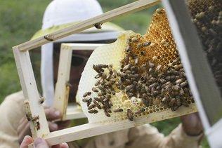 Les néonicotinoïdes très persistants dans le miel
