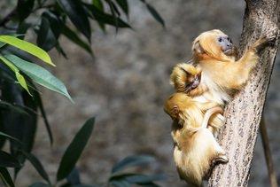 Deux petits tamarins-lions sont nés au zoo de Zurich