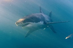 Des requins filmés en chasse dans des forêts d'algues