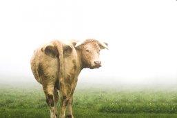 Le bœuf ennemi no 1 du climat
