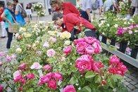 Le Festival des roses attire près de 20'000 visiteurs