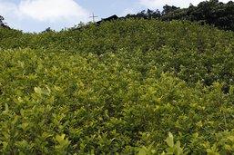 Nouveau record mondial de production de cocaïne, selon l'ONU