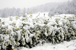 Le colza a plié sous la neige