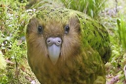 Le kakapo dans les griffes du destin