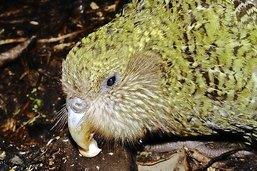 Le kakapo est en danger de mort