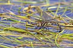 Sur la trace des libellules du canton