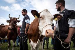 La Fête des vignerons a choisi ses vaches