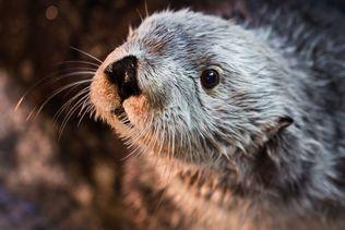Charlie, plus vieille loutre de mer en captivité, est mort à 22 ans