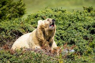 Le policier suisse chassait l'ours aux frais de Moscou