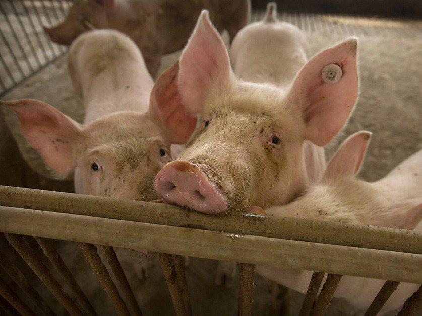 Ecouter les animaux d'élevage pour assurer leur bien-être (étude)