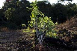 Légère baisse des narco-plantations en 2018 en Colombie