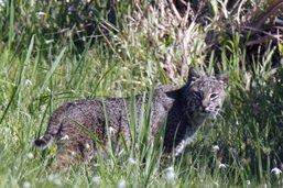 Lynx et panthères traînent mystérieusement la patte en Floride