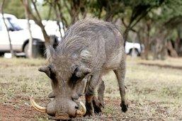 L'angoisse du phacochère avec un dossard