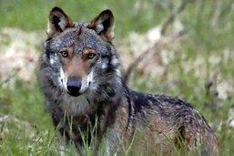 Le loup sera au menu du peuple