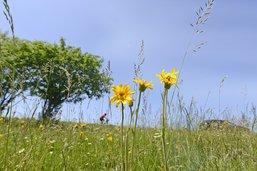 Journée de récolte de l'Arnica