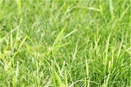 Millet, le roquet des gazons anglais