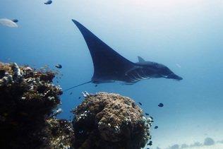 Australie : des plongeurs au secours d'une raie manta