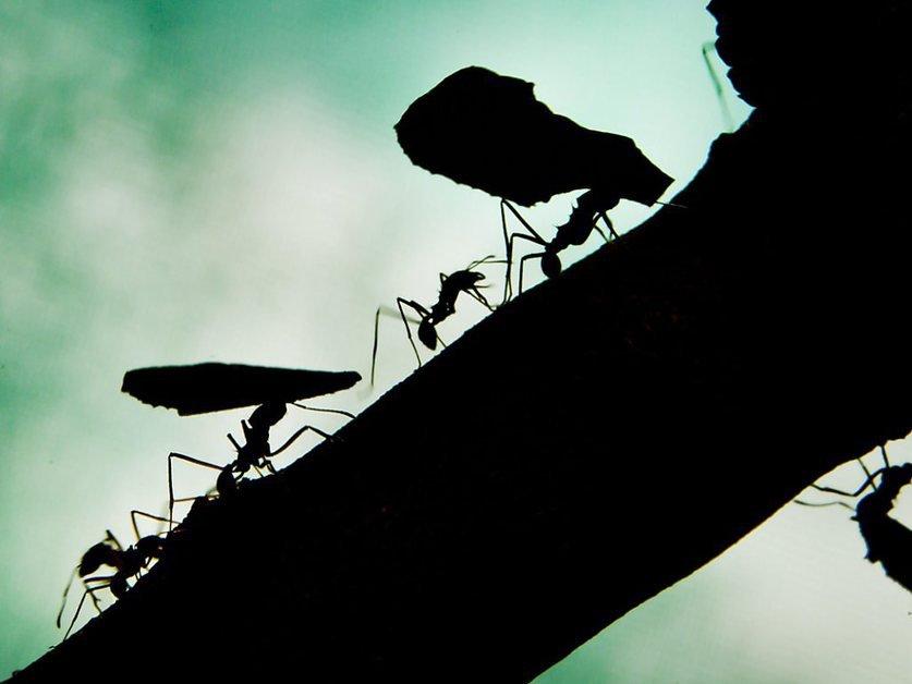 Des chercheurs ont filmé la fourmi la plus rapide au monde